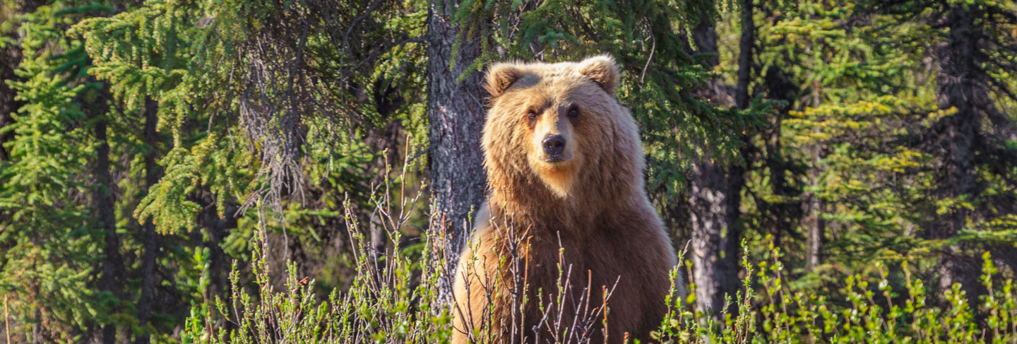 Self-guided grizzly bear hunts