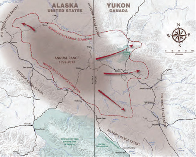 Yukon Range of the 40 mile caribou herd