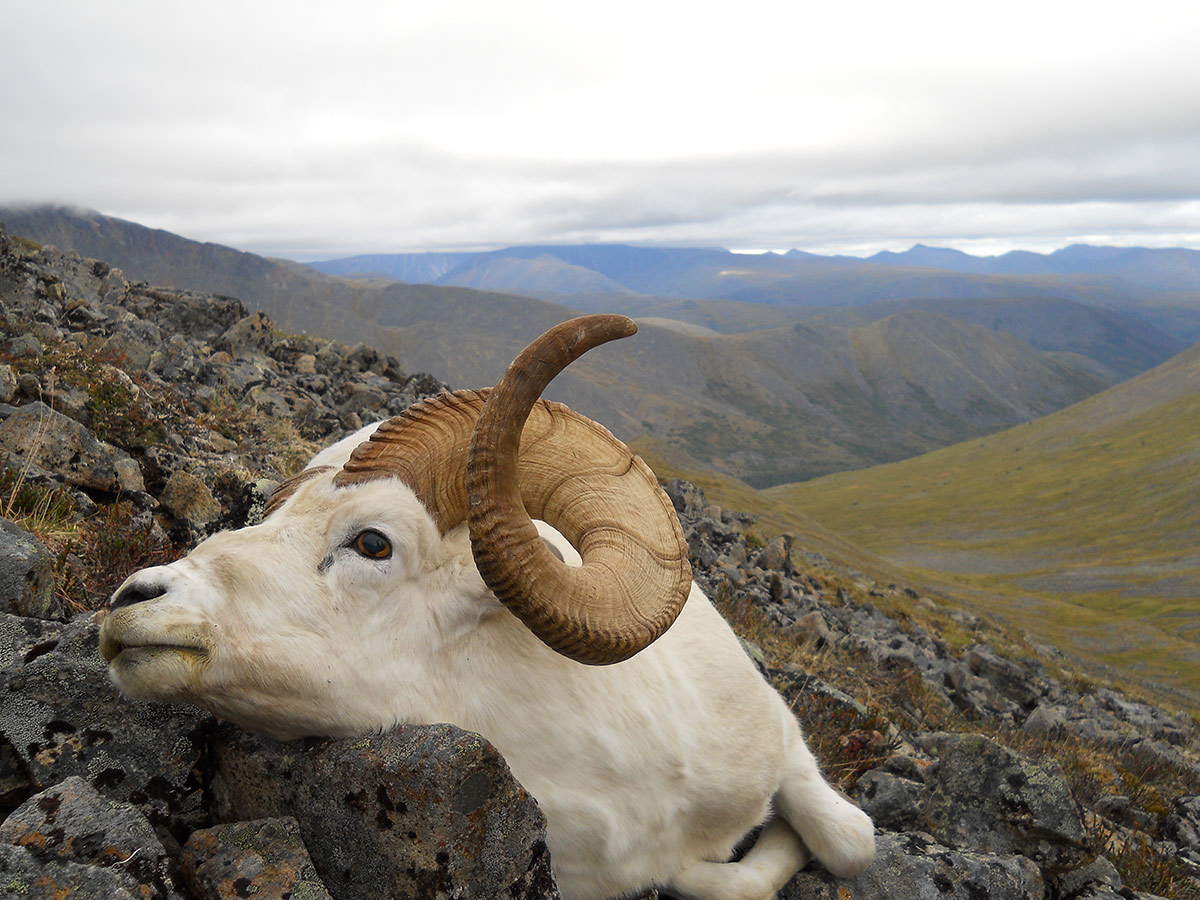 Alaska dall sheep hunting