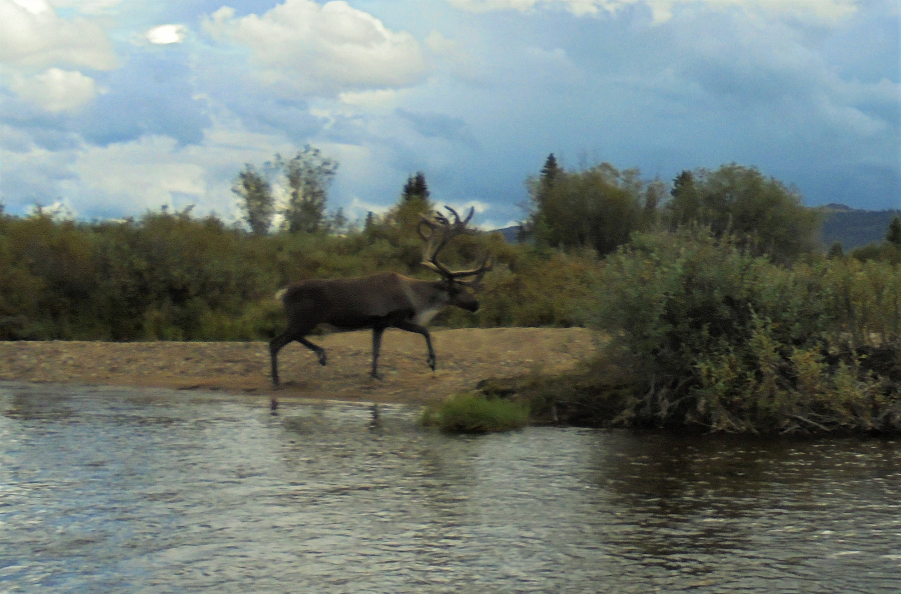 Charley River caribou